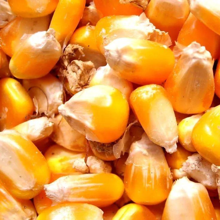 今年买玉米种子,别跳进这8个坑!
