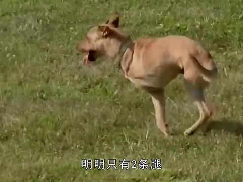 一只身残志坚的狗狗,明明只有2条腿,却活出了不一样的狗生