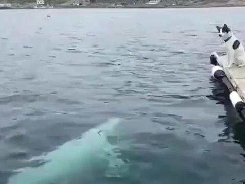 经过大风大浪的狗子,一点不把白鲸的挑衅放眼里
