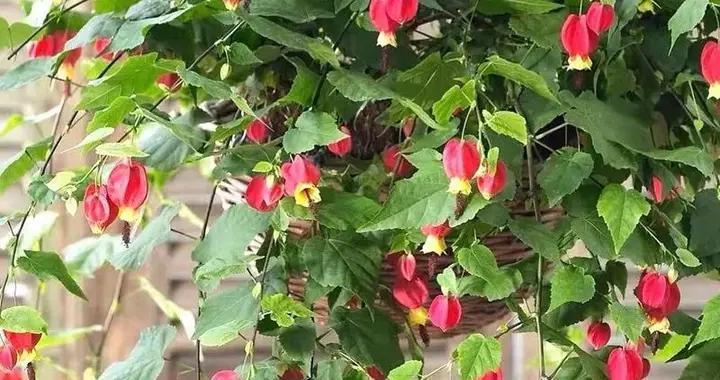 """春天养蔓性风铃花,做好这几件事,枝头挂满""""红灯笼"""",漂亮极了"""