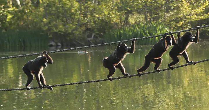 爱尔兰都柏林动物园重新开放 猴子花式过河抢镜