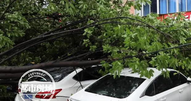 """江西赣州:10多年老榕树突然倒下,4辆小车""""躺枪""""被砸受损"""