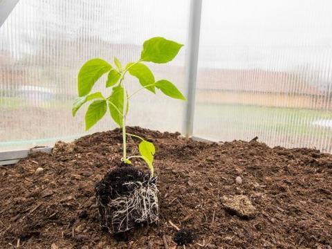 生根超快的肥料,辣椒移栽后这么追肥,生根快病害少产量高