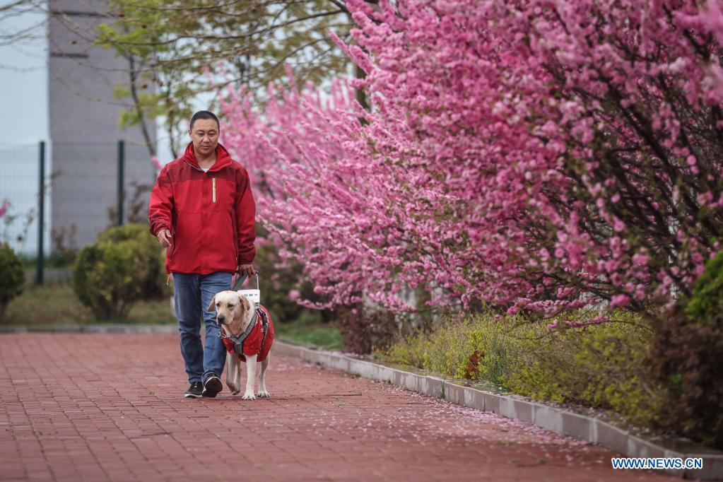 Trainer Fu Mingyan trains a guide dog in Dalian, northeast China's Liaoning Province, April 22, 2021. The Dalian branch of the China Guide Dog Training Center, which was founded in May 2006, is a non-profit training institution of guide dogs in China. It has provided 239 free guide dogs to visually impaired people around the country. Guide dogs in the center are strictly selected from Labrador and Golden retrievers. Usually 45 days after birth, those puppies are sent to live with volunteer families, getting familiar with human life and learning simple orders. When the puppies grow up to about one year old, they are sent back to the center for professional training for one to one and a half year. Customized courses which are specially set according to the life scenes of visually impaired people, include going up and down stairs, avoiding obstacles and crossing streets. They also take a series of
