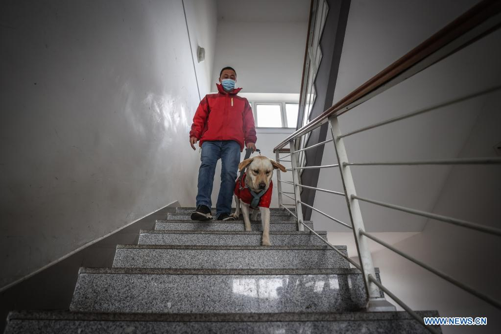 Trainer Fu Mingyan trains a guide dog to go downstairs in Dalian, northeast China's Liaoning Province, April 22, 2021. The Dalian branch of the China Guide Dog Training Center, which was founded in May 2006, is a non-profit training institution of guide dogs in China. It has provided 239 free guide dogs to visually impaired people around the country. Guide dogs in the center are strictly selected from Labrador and Golden retrievers. Usually 45 days after birth, those puppies are sent to live with volunteer families, getting familiar with human life and learning simple orders. When the puppies grow up to about one year old, they are sent back to the center for professional training for one to one and a half year. Customized courses which are specially set according to the life scenes of visually impaired people, include going up and down stairs, avoiding obstacles and crossing streets. They also take a series of
