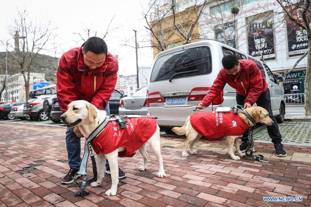 Trainers Fu Mingyan (L) and Jiang Boya gear up guide dogs for training in Dalian, northeast China's Liaoning Province, April 23, 2021. The Dalian branch of the China Guide Dog Training Center, which was founded in May 2006, is a non-profit training institution of guide dogs in China. It has provided 239 free guide dogs to visually impaired people around the country. Guide dogs in the center are strictly selected from Labrador and Golden retrievers. Usually 45 days after birth, those puppies are sent to live with volunteer families, getting familiar with human life and learning simple orders. When the puppies grow up to about one year old, they are sent back to the center for professional training for one to one and a half year. Customized courses which are specially set according to the life scenes of visually impaired people, include going up and down stairs, avoiding obstacles and crossing streets. They also take a series of