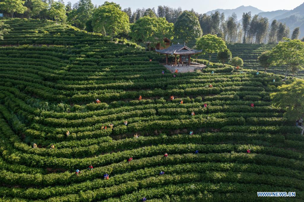 Aerial photo taken on April 30, 2021 shows a tea picking competition at a tea garden in Sanshi Village, Jingning She Autonomous County in Lishui, east China's Zhejiang Province. (Photo by Li Suren/Xinhua)
