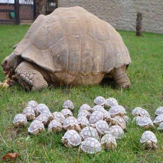 一只80岁的乌龟和它的宝宝们 (Reddit: olexzz)
