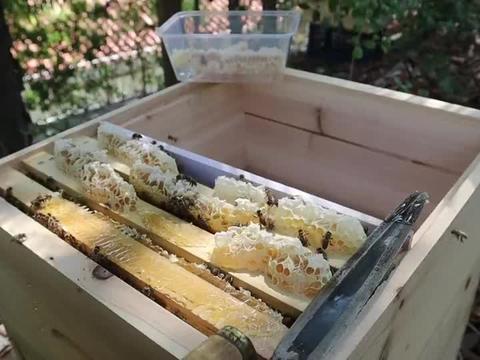 小蜜蜂把蜂蜜储存到蜂箱的顶上,小伙用小刀把蜂巢蜜割下慢慢品尝