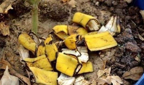 你丢掉香蕉皮,我用来养花,效果比花肥强10倍,啥花都喜欢