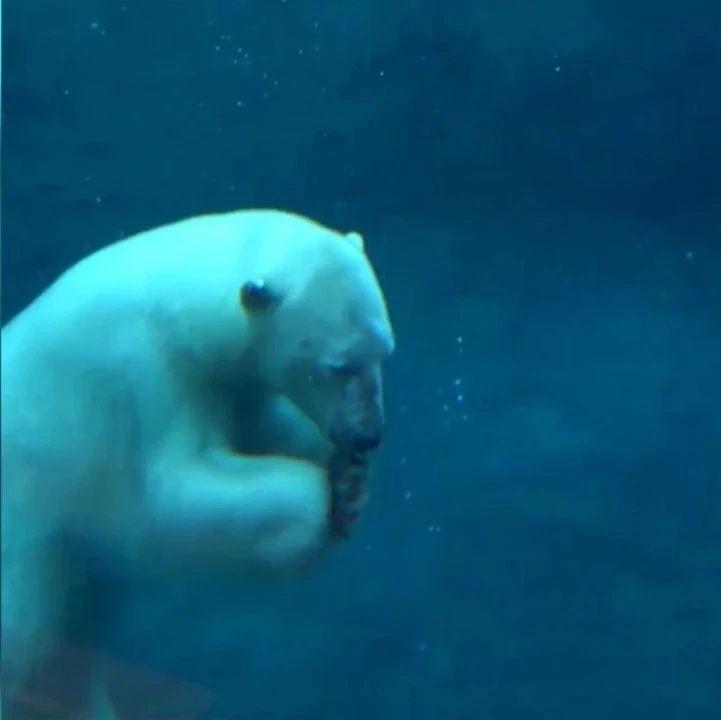跳进水里的北极熊,感觉就好开心啊!