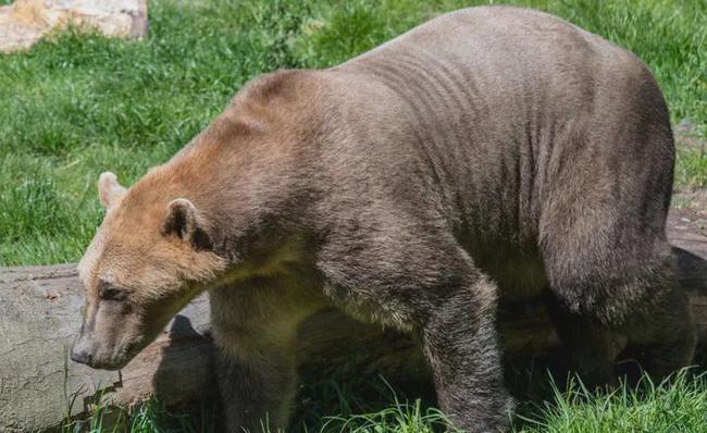 """为抵抗气候变化,北极熊和灰熊交配,产出适应暖化的""""灰北极熊"""""""
