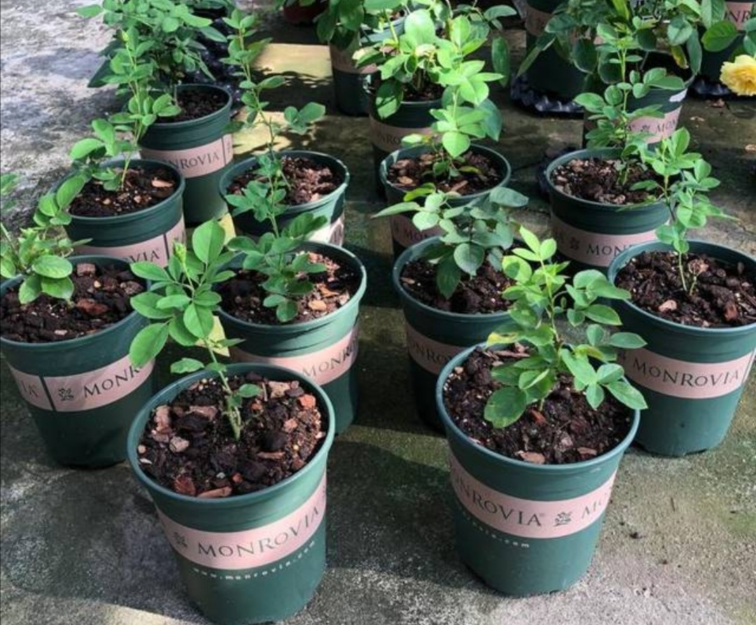 在家自己制作花肥,方法简单,营养全面,养什么花都旺盛!