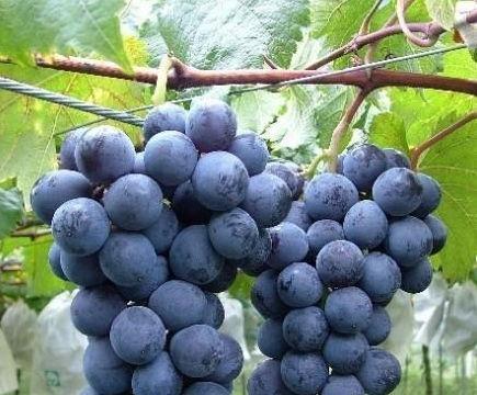 果实着色至采收期前控制灌水