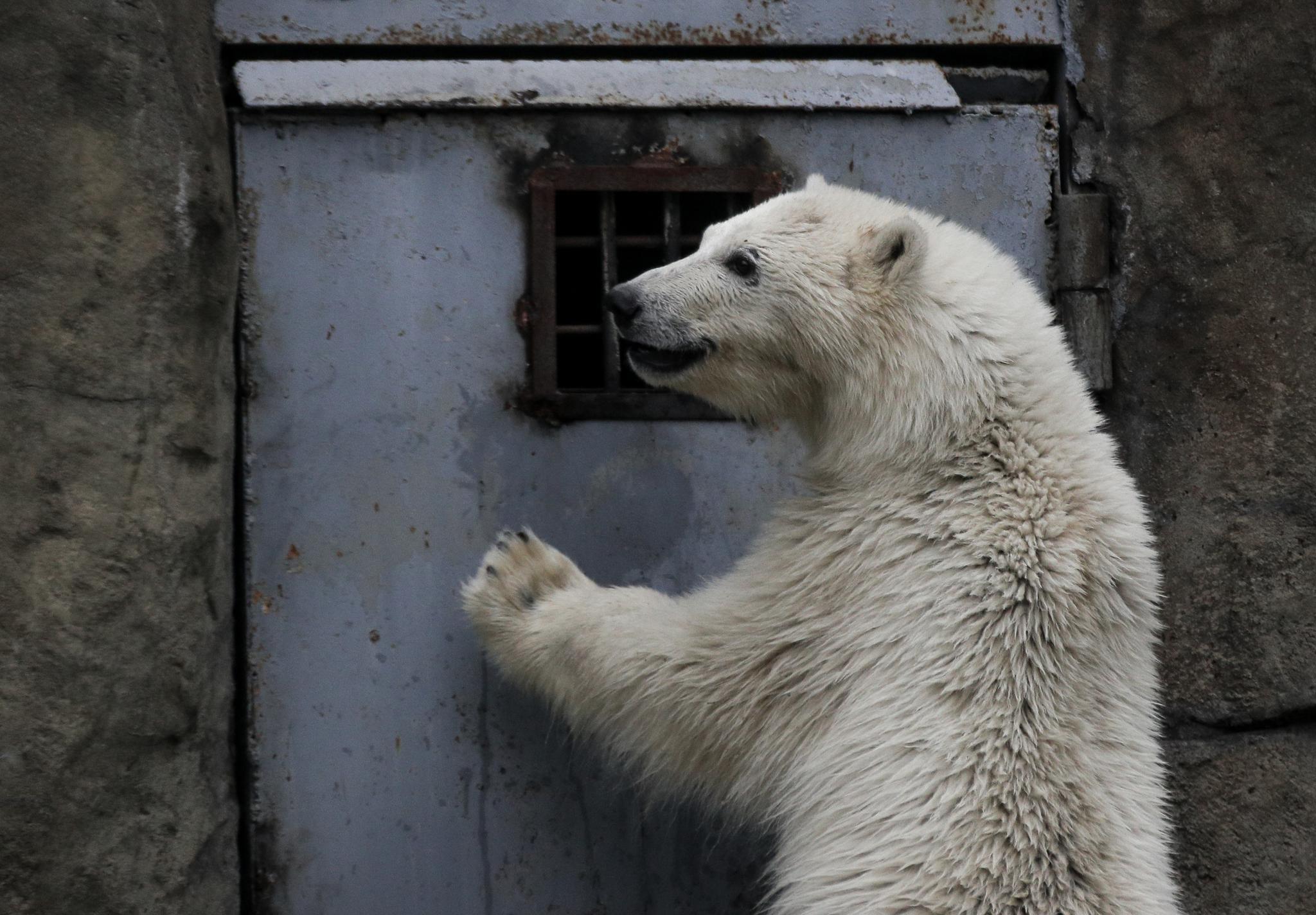 莫斯科动物园的小北极熊