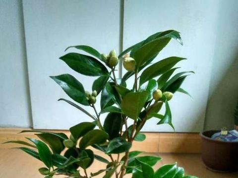 花市买的山茶花,叶子掉没了,怎么拯救?剪枝,通风很有必要
