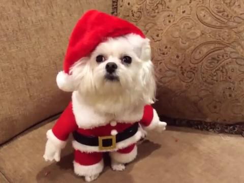 穿着圣诞衣服的狗狗,一脸呆萌的看着主人