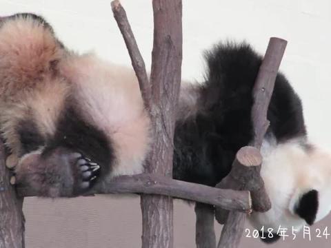大熊猫这睡姿是不是学小龙女的!