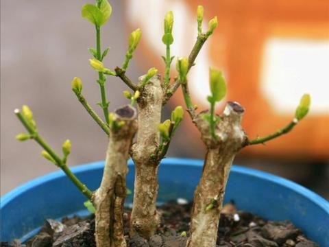 春天养花,植株开始萌芽,有1件事不要做得太早!