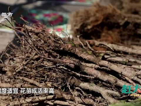 大哥卖的天津本地花苗,五色玫瑰四季红梅还带骨朵,便宜也好活