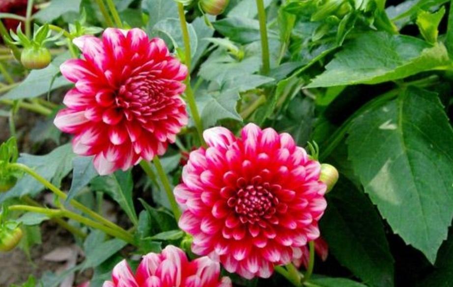 大丽花,植株长得旺盛,夏天开满大花团!