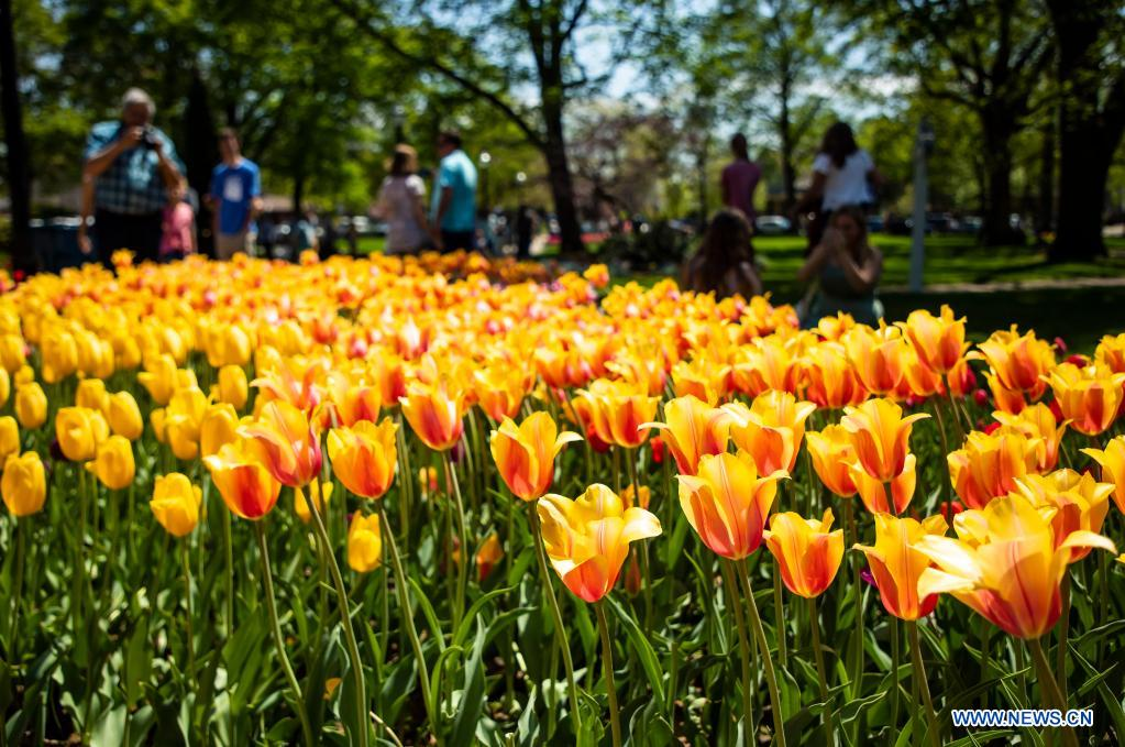 People take photos during the 2021 Tulip Time Festival in Holland, Michigan, the United States, on May 2, 2021. (Photo by Joel Lerner/Xinhua)