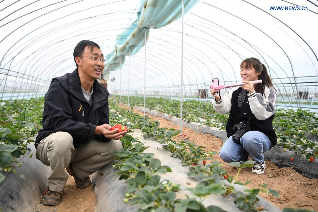 Zhang Shuhao (L) promotes strawberries via on-line live streaming in a greenhouse in Mudan Township, Tianshui City of northwest China's Gansu Province, on April 27, 2021. Zhang Shuhao, 42, quit his well-paid job three years ago to start an agriculture company with a few partners sharing the same vision at a mountainous village in Mudan Township, Tianshui City. In three years, Xinghuarong, Zhang's company, contracted 6,200 mu (about 413 hectares) of idle arable lands, where terraced fields, greenhouses, and a reservoir have been built to grow diverse produces ranging from traditional Chinese medicine materials to juicy fruits. Apart from encouraging villagers to raise fowls, Zhang also offered job opportunities to more than 700 residents in five neighboring villages. Once commonly adopted extensive farming has been replaced by intensive and mechanized one. (Xinhua/Du Zheyu)