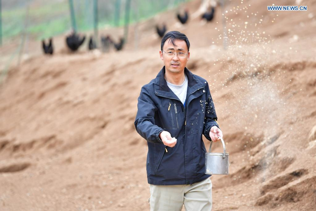 Zhang Shuhao feeds fowls on the hill of Mudan Township, Tianshui City of northwest China's Gansu Province, on April 27, 2021. Zhang Shuhao, 42, quit his well-paid job three years ago to start an agriculture company with a few partners sharing the same vision at a mountainous village in Mudan Township, Tianshui City. In three years, Xinghuarong, Zhang's company, contracted 6,200 mu (about 413 hectares) of idle arable lands, where terraced fields, greenhouses, and a reservoir have been built to grow diverse produces ranging from traditional Chinese medicine materials to juicy fruits. Apart from encouraging villagers to raise fowls, Zhang also offered job opportunities to more than 700 residents in five neighboring villages. Once commonly adopted extensive farming has been replaced by intensive and mechanized one. (Xinhua/Chen Bin)