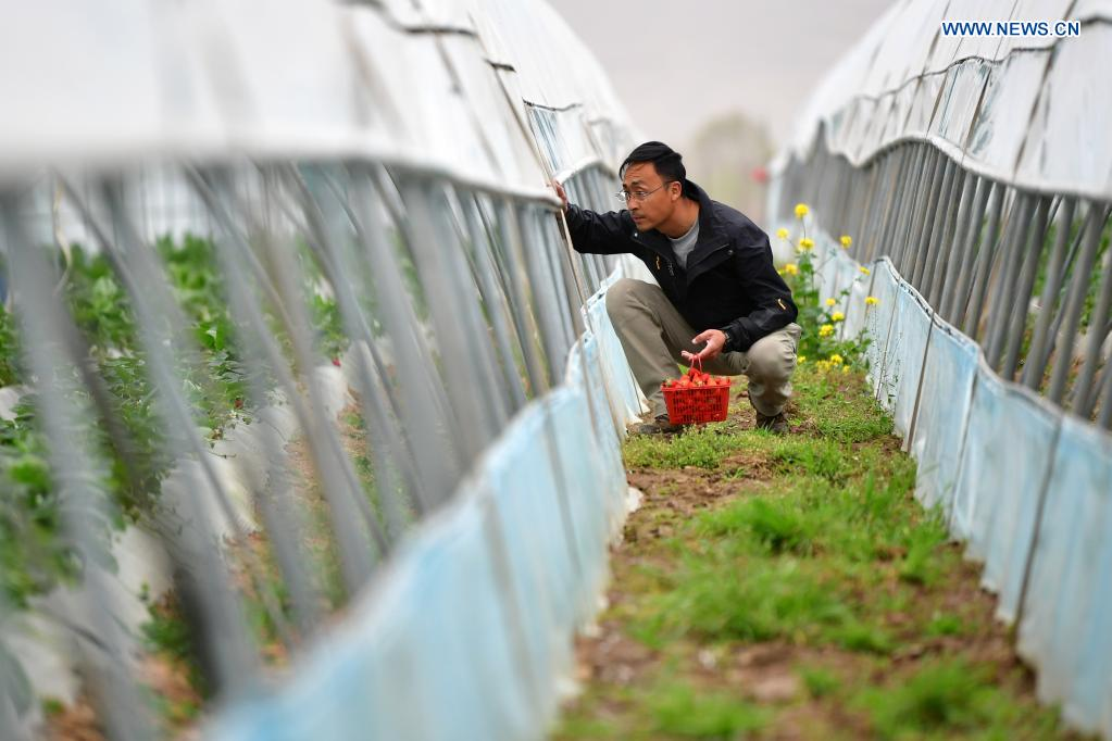Zhang Shuhao checks the growth of strawberries in Mudan Township, Tianshui City of northwest China's Gansu Province, on April 27, 2021. Zhang Shuhao, 42, quit his well-paid job three years ago to start an agriculture company with a few partners sharing the same vision at a mountainous village in Mudan Township, Tianshui City. In three years, Xinghuarong, Zhang's company, contracted 6,200 mu (about 413 hectares) of idle arable lands, where terraced fields, greenhouses, and a reservoir have been built to grow diverse produces ranging from traditional Chinese medicine materials to juicy fruits. Apart from encouraging villagers to raise fowls, Zhang also offered job opportunities to more than 700 residents in five neighboring villages. Once commonly adopted extensive farming has been replaced by intensive and mechanized one. (Xinhua/Du Zheyu)