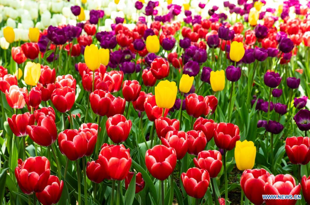 Photo taken on May 2, 2021 shows tulips at the 2021 Tulip Time Festival in Holland, Michigan, the United States. (Photo by Joel Lerner/Xinhua)