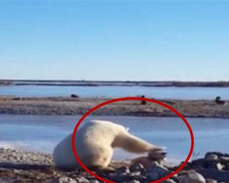 男子河边竟发现一只北极熊,靠近后看到的一幕让他啧啧称奇!