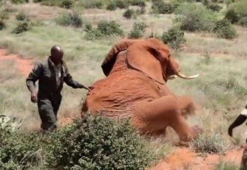小伙发现大象躺在地上肚子有异样,划开后让人心疼不已