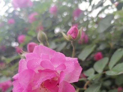 五言顶真诗(首发)月季迎春雨,春雨润绿竹(附顶真联和古风)