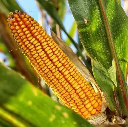 买玉米种子,千万要避开这6大误区、8大套路,快快收藏吧