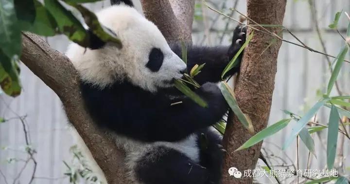 成都大熊猫繁育研究基地:网络购票游客请按照购票场次前来参观游玩