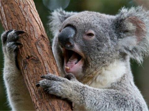袋鼠岛上有种可爱动物,叫声像牛又像猫,体重20斤大脑仅0.04斤