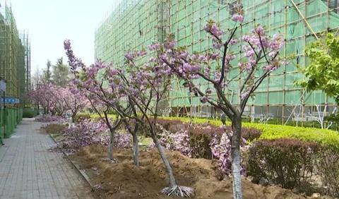 """胶州市""""移""""花栽木,让老旧小区改造更""""生态"""""""