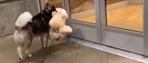 哈士奇买到了心爱的兔兔,高兴的扭着跑回家,然而刚进门就…