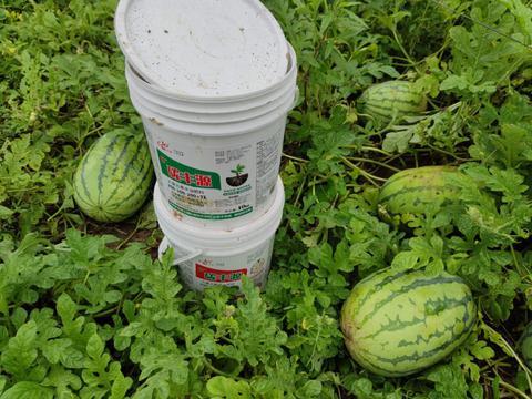 西瓜膨大期追肥,补足这些基础营养和微量元素,很关键!