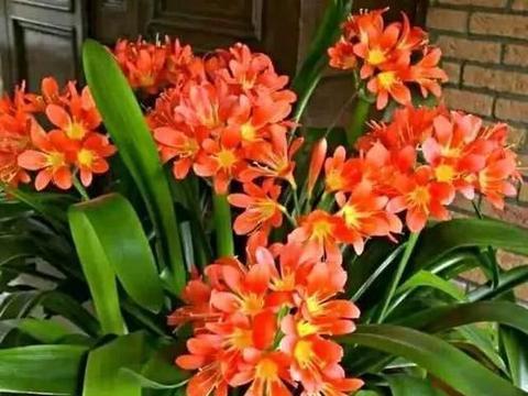 初夏养君子兰,掌握5个要点,叶片挺拔如折扇,还能再开一茬花