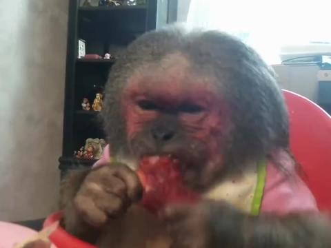 猴子们的用餐时间,它们越吃越挑剔