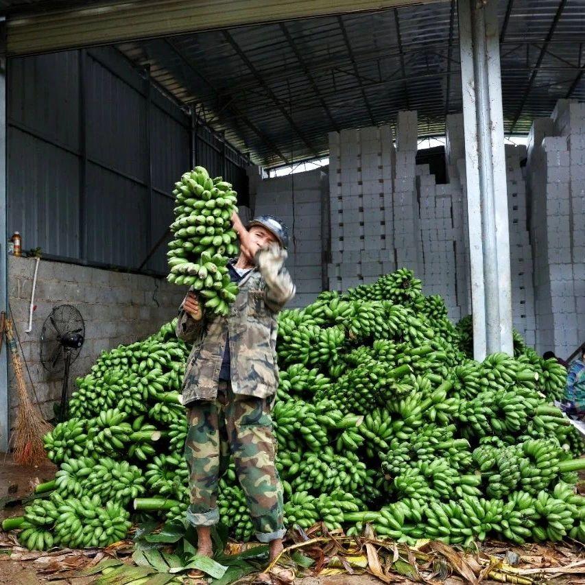 广西小米蕉借道拼多多发展成大产业,农户年收入超20万