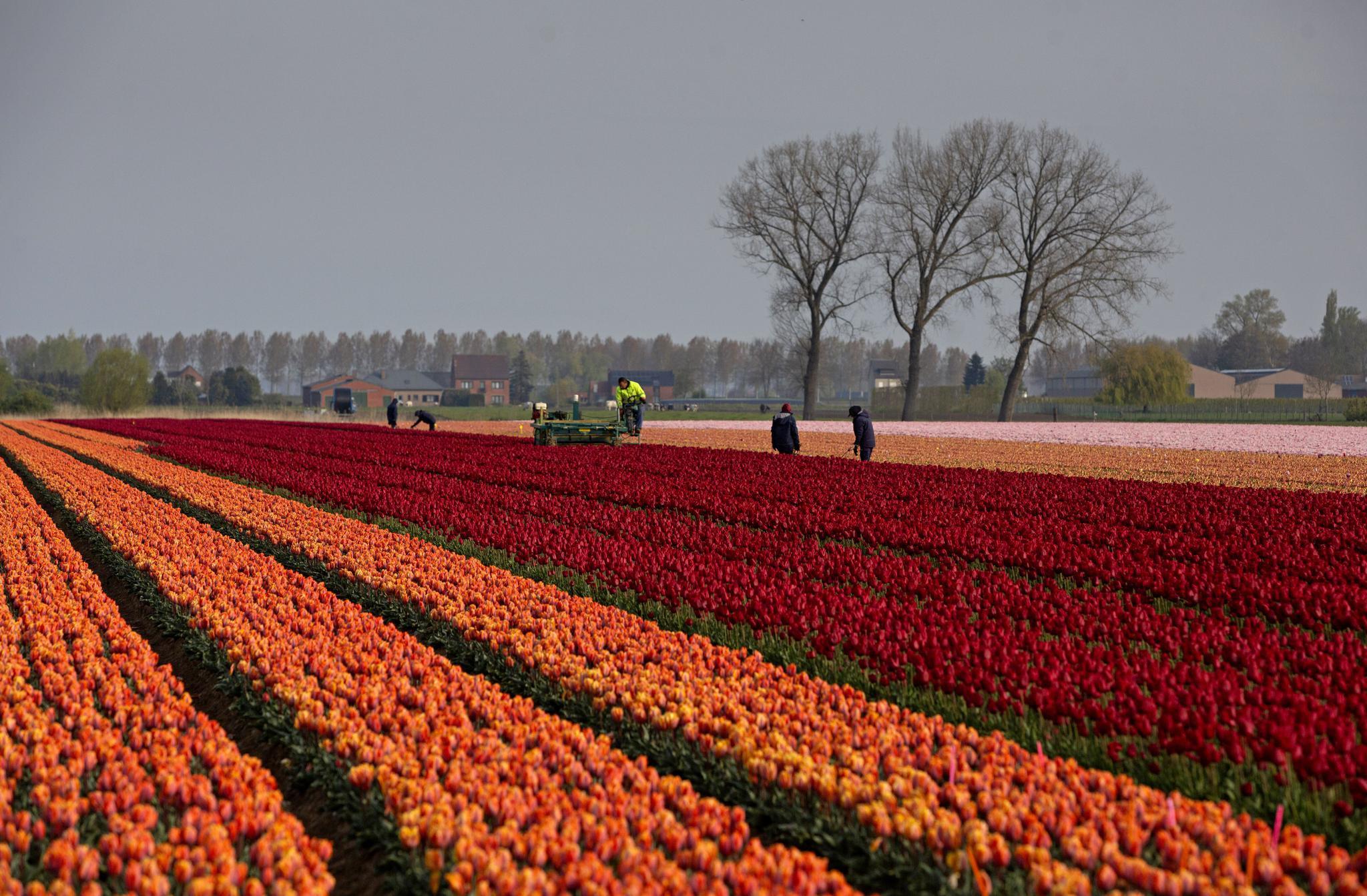 比利时的郁金香花田