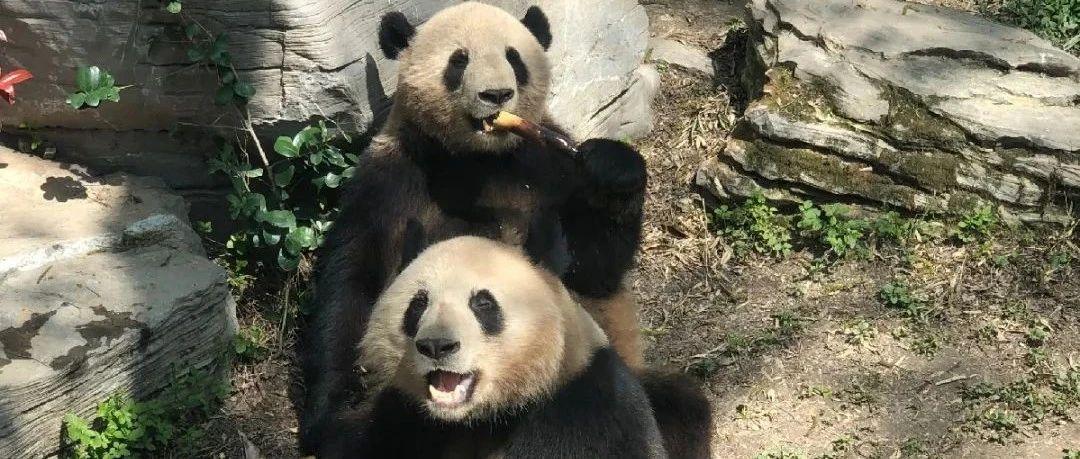 """【探索】河马回归户外、熊猫化身""""吃播"""",春日里的动物园生机勃勃 !"""