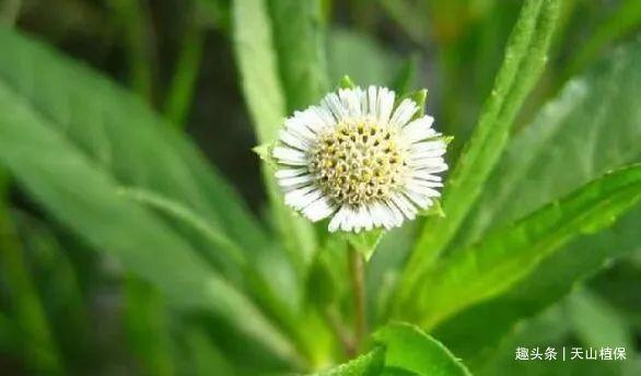 农村常见野草,人称莲子草,护肝明目效果很好,视力不好常吃!