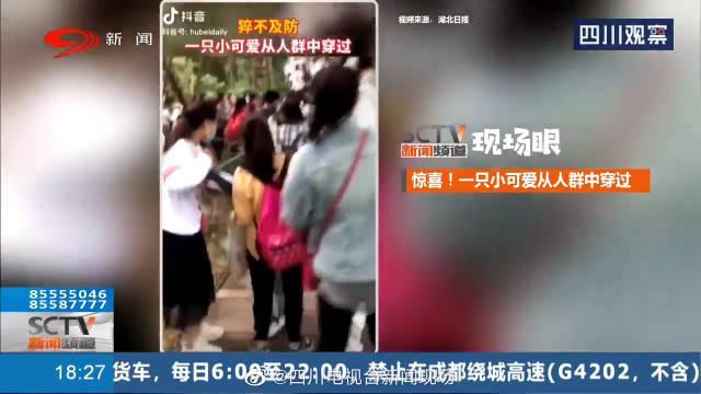 惊喜!小熊猫迈小碎步穿过人群