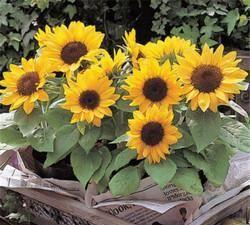 5月养这6种花,开成大花球,颜色艳丽开满花盆