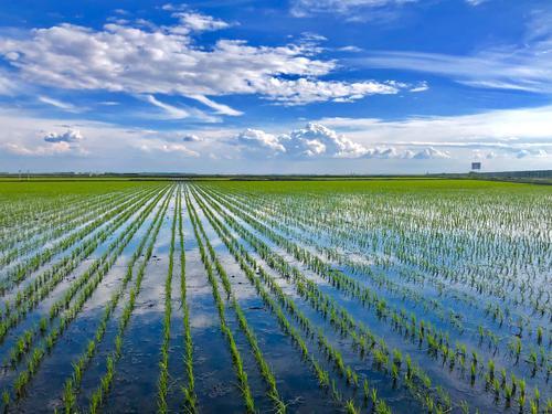 八五九积极开展水稻插秧作业