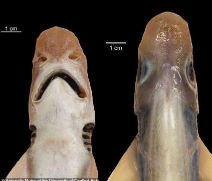 """意大利海域出现""""僵尸鲨鱼"""",既没皮肤也没牙齿,长相很怪异"""