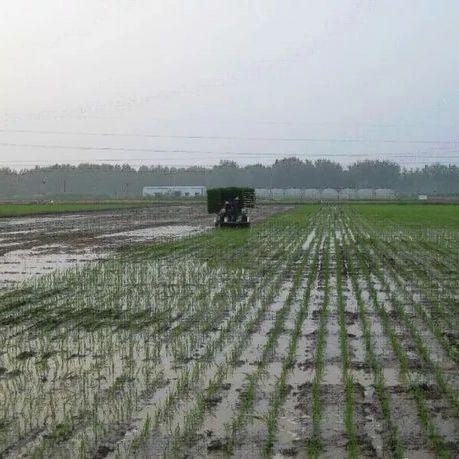 水稻插秧后一直不返青的6点主要原因,农民朋友要特别注意!